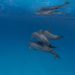 Dolphins | Bolt Reef