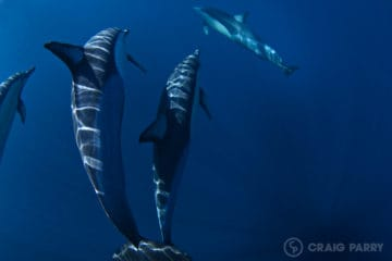 Common Dolphins | Byron Bay